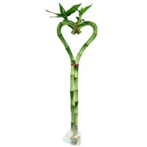 Heart Shaped Lucky Bamboo